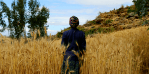 A woman wearing a blue jacket and colourful headscarf walks through a field of wheat. Her back is turned to the camera.