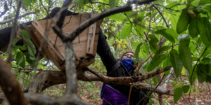 Esther, wearing a purple fleece and red hat, reaches up in to a tree to check a community beehive.