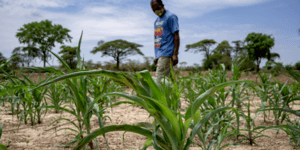 A man in a blue top and beige trousers stands in a crop field in Nkayi, Zimbabwe.