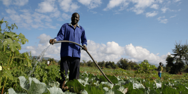 A man in a blue shirt and black trousers waters crops in Malawi.